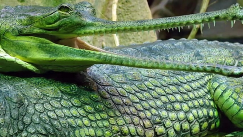 Крокодил-дил -дил плывёт...