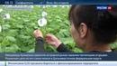 Новости на Россия 24 • Фермеры Сахалина перевыполнили планы по выращиванию огурцов