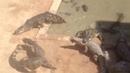 Jogando galinha viva para os crocodilos bizarro e teve treta