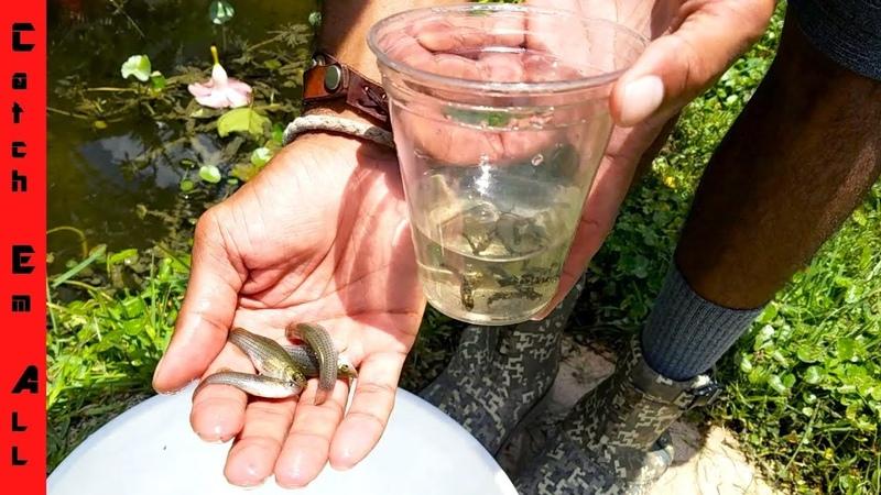 CATCH KEEP WILD AQUARIUM FISH! (Dalmatian Mollies)