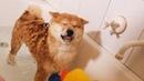Shiba Puppys First Bath Not Happy