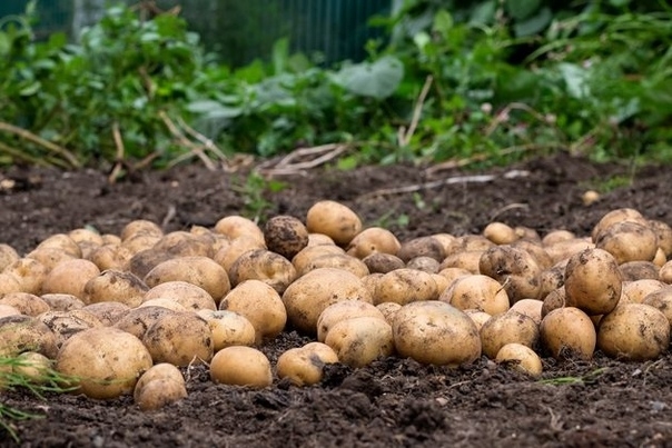 Эксперимент: картофель без окучивания Ветераны дачного труда помнят времена, когда картофель был монокультурой на наших огородах и, если позволял земельный надел, унылые темно-зеленые грядки