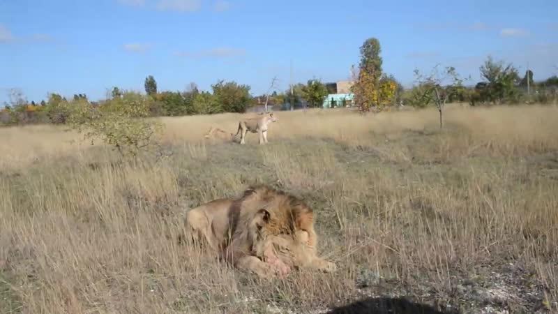 Львы устраивают ТАМОЖЕННЫЙ ДОСМОТР машины