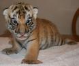 Cute Endangered Tiger Cub Arrives