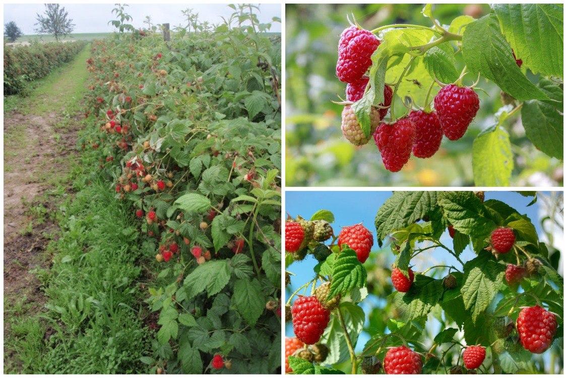 Выращивание малины: от посадки до сбора урожая