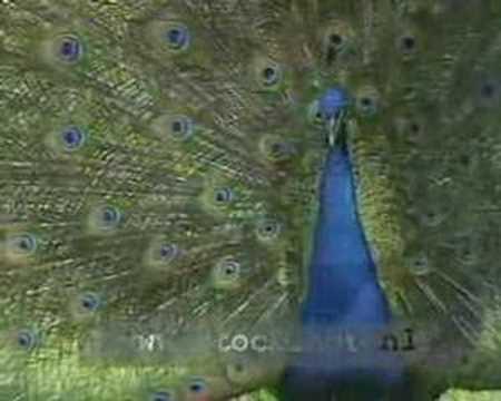 Blauwe Pauw - Pavo cristatus - Indian blue peacock calling