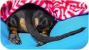 Dachshund winter hibernation Cute and funny dog video