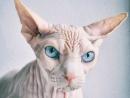 Кошка сфинкс в шоке