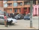 В Ярославле во дворе многоэтажки паслись коровы