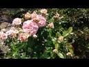 Питомник роз Полины Козловой роза Бесси и роза Чипендейл
