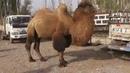 Рынок сельскохозяйственных животных в г Кашгар Китай