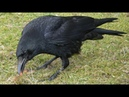 Чёрный вОрон, мухоморы в сосновом бору.