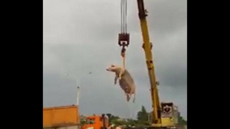(ვიდეო) აი როგორ გაყავთ ღორი ფოთის სანაპირო პლაჟიდან