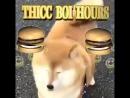 Fat cute dog