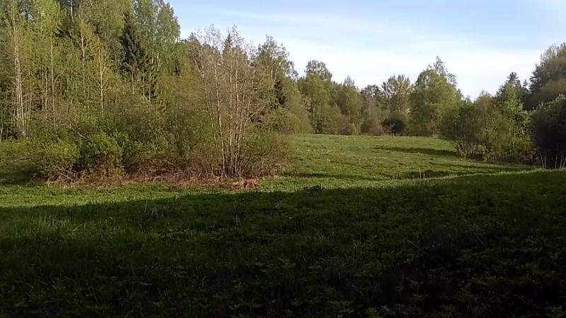 встретили лосенка в лесу 33 километр 20.05.2018