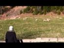 Эксперимент - Услышат ли овцы голос пастуха
