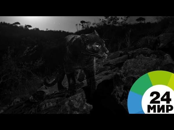 Впервые за 100 лет удалось сфотографировать редчайшего черного леопарда - МИР 24