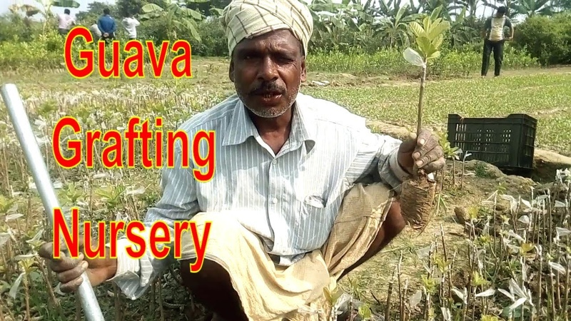 Guava Seedling | Grafted Guava Plant | How to Graft Guava Tree in a Commercial Nursery.