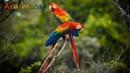 Scarlet macaw Красный ара Ara macao
