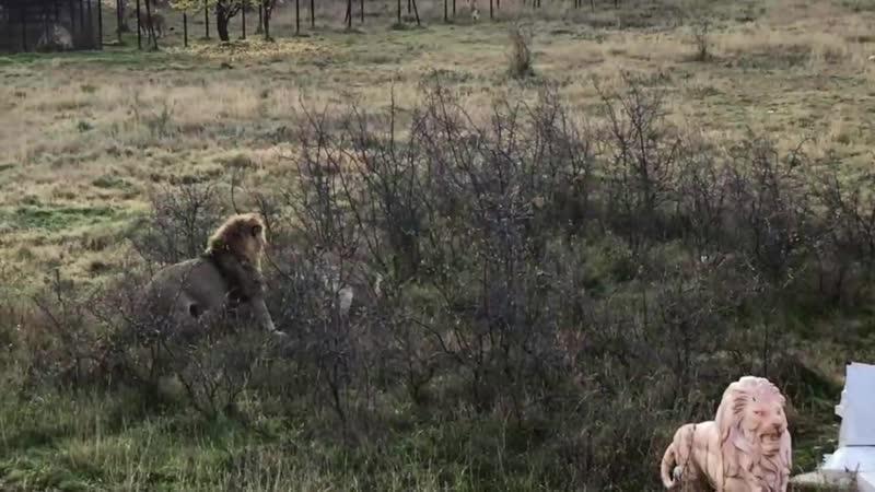 Львы избивают львиц