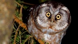 Boreal owl. Hunting bird in the night forest. Aegolius funereus.