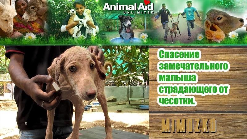 Animal Aid Unlimited, India на русском - Спасение замечательного малыша, страдающего от чесотки / Healing sweetest puppy stricken with mange