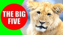 Africa's Big Five Animals - lion, african buffalo, rhinoceros, elephant, leopard sounds and videos
