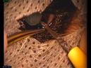 Удаление катаракты у 3х месячного енота