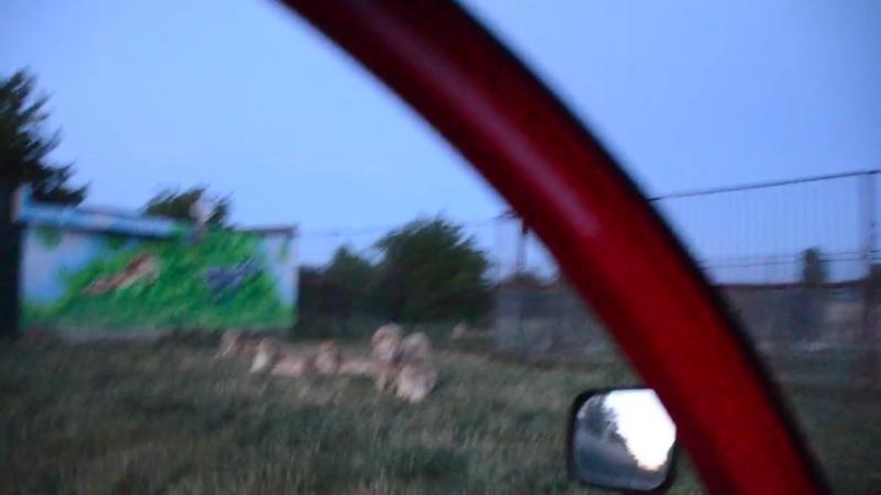 Вечер в Саванне ! РАЗГОНЯЕМ ЛЬВОВ _)) ! Тайган .Крым