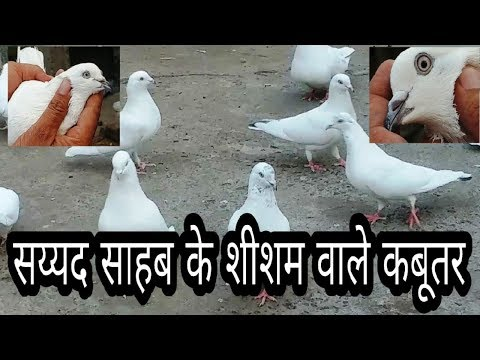 Bhopal Pigeons Of Syed Mohsin Ali Part 2