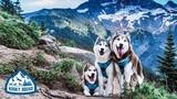 Hiking Oregon Mt. Hood With Dogs Husky Squad