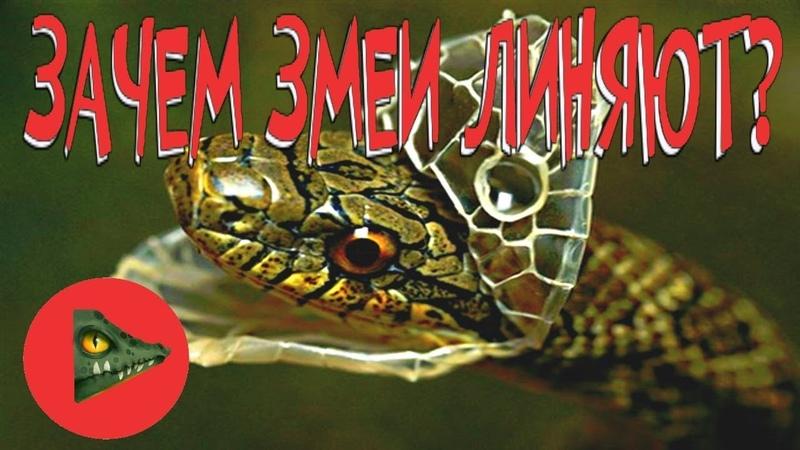 ЗАЧЕМ ЗМЕИ СБРАСЫВАЮТ КОЖУ! Особенности линьки змей!