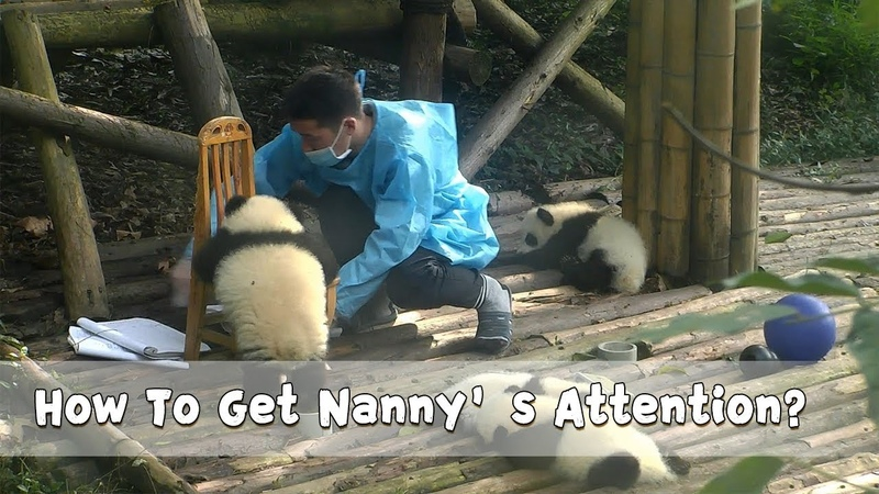 Rou Rou Successfully Got Nanny's Attention By Falling Off The Chair | iPanda