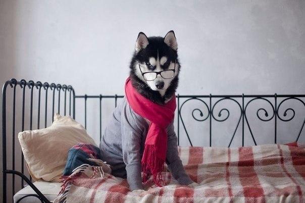 Хаски, знающие толк в моде Этот умилительный фотопроект начался три года назад, когда Эрика Цогоева, художница из Санкт-Петербурга, подарила сибирского хаски своей подруге. Спок, именно так