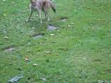 Собака играет с диким койотом