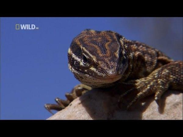 Nat Geo Wild: Короли ящериц (1080р)