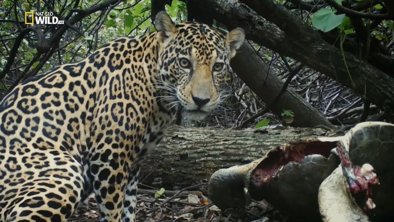 Nat Geo Wild Охота ягуара на побережье (1080р)