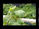 Выращивание огурцов на шпалере в открытом грунте инструкция