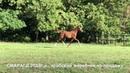 Продажа лошадей арабской породы конефермы Эквилайн, тел., WhatsApp 79883400208 (Смарагд 2018г.р.)