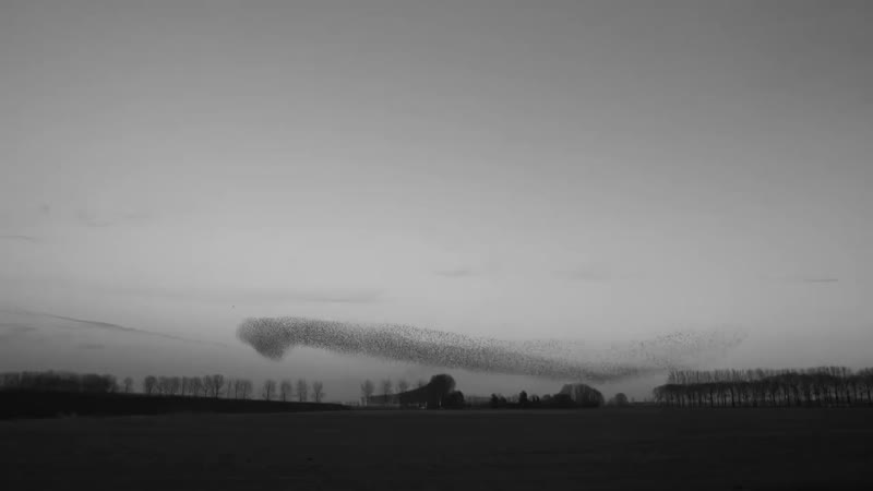 Flight of the Starlings Watch This Eerie but Beautiful Phenomenon Short Film Showcase_MP4 720p.mp4