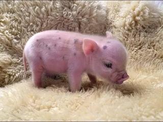 CUTE MICRO PIG | MINI PIG VIDEO Compilation