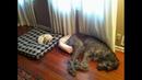 Я РЖАЛ ПОЛ ЧАСА. Смешные Коты и Собаки. ПРИКОЛЫ С ЖИВОТНЫМИ. Cute Cats 125