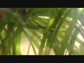 Мальки плавают в аквариуме, возраст малькам сутки