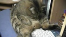 Кот Жулик смешно сидит! · coub, коуб