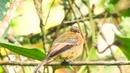 Cinnamon flycatcher Коричневый мухоед Pyrrhomyias cinnamomea Pyrrhomyias cinnamomeus