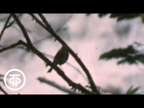 В страну вулканов за зеленым голубем. Остров Кунашир (1988)