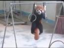 Красная панда сдала нормы ГТО