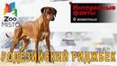 Родезийский риджбек - Интересные факты о породе   Собака породы родезийский риджбек