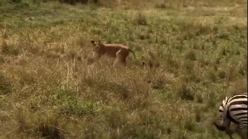 Cette maman zèbre retourne en découdre avec la lionne qui a capture son petit.