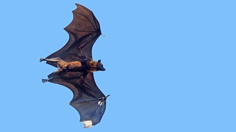 Renard volant : la plus grosse chauve-souris du monde - ZAPPING SAUVAGE